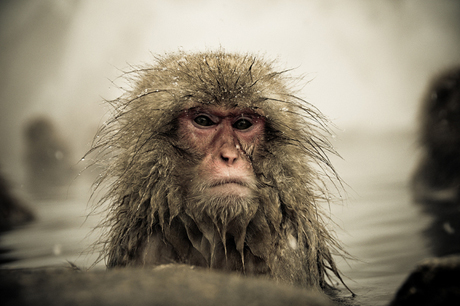 Snow-Monkeys-in-Japan-Ron-Gessel