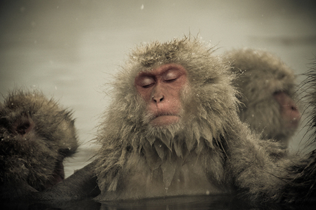 Snow-Monkeys-in-Japan-Ron-Gesse