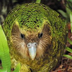 Sirocco-Kakapo-feature-image