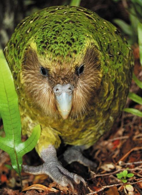 Sirocco-Kakapo